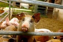 Воронежские фермеры избавятся от свиней за 10 млн рублей