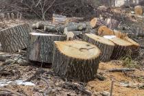 В Воронежской области браконьеры вырубили дубы на 25 млн рублей