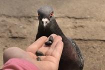 Воронежцы просят УК покормить голубей и усмирить шумных соседей