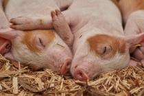 Лишенный мандата депутат под Воронежем выступала против свинокомплекса