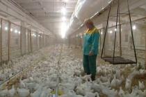 Прокуратура пока не дала согласия на фронтальные проверки воронежских птицефабрик