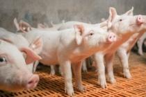 В Воронежской области на 40% выросло поголовье свиней