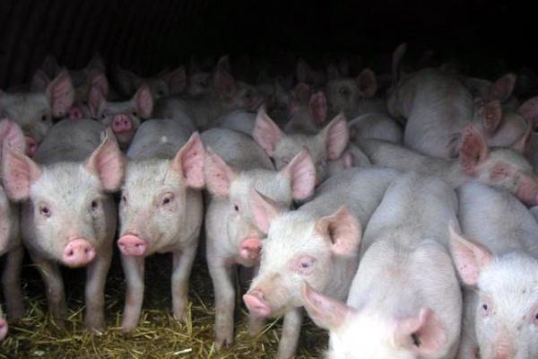 Под немецкие свинокомплексы Воронежская область выделяет 9500 га земли