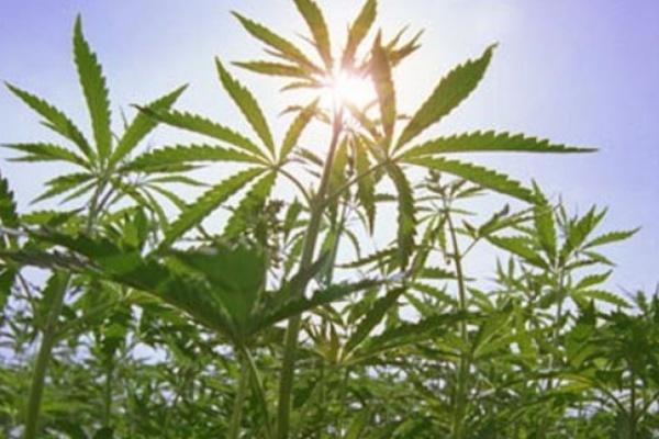 В Воронежской области пенсионер осужден за обмен марихуаны на картошку