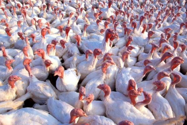 В Воронежской области началось строительство птицекомплекса по выращиванию индеек