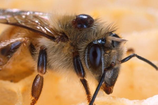В Воронежской области двое молодых людей украли пчел, чтобы стать пасечниками