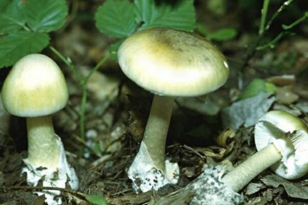 В Воронежской области начался «грибной сезон» - уже отравились 27 человек