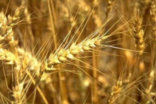 В Воронежской области аграрии уже убрали больше половины полей