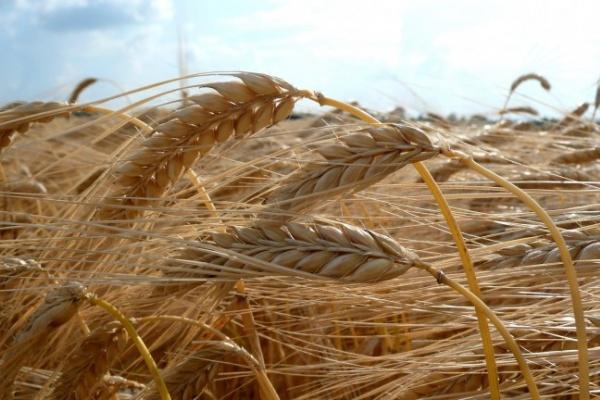 Воронежские хлеборобы ожидают рекордный урожай