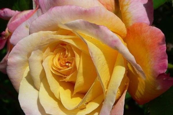 Французы Воронежу на юбилей подарят розы