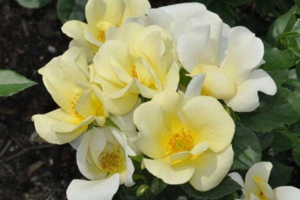 В воронежском парке «Алые паруса» высадили «юбилейные» розы