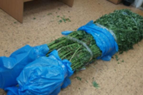 В Воронежской области пенсионерка вырастила дома 300 кустов конопли