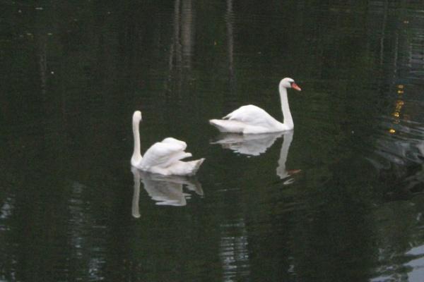 В Воронеже в озере на Минской появились лебеди
