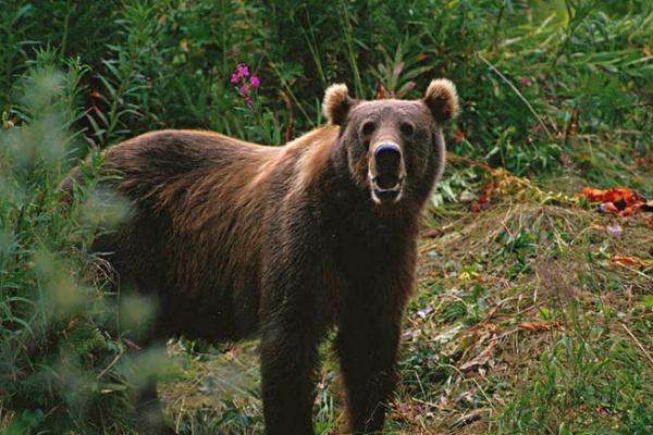 Из Смоленской области суд выслал бурого медведя в Воронежский зоосад