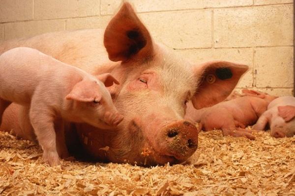 В Острогожском районе из-за африканской чумы уничтожили почти тысячу свиней