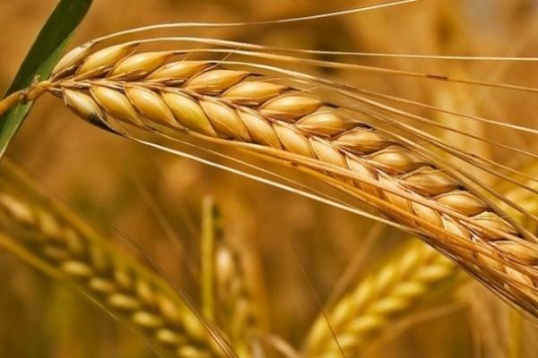 В Тамбовской области планируют собрать 3,5 млн тонн зерновых