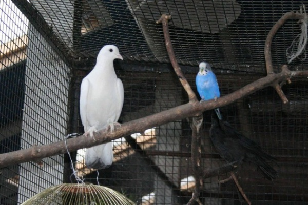 В Воронежском зоопарке попугай влюбился в голубя, а ворона  - в страуса