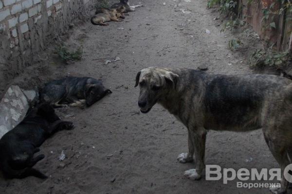 Прокуратура: На улицах Воронежа травят и отстреливают бездомных собак