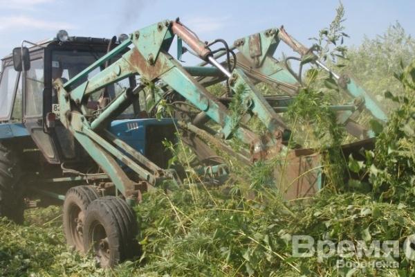 В Воронежской области уничтожили 2,5 тонны мака и конопли