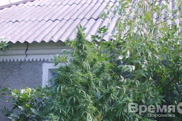 В Воронежской области обнаружили 190 кустов конопли