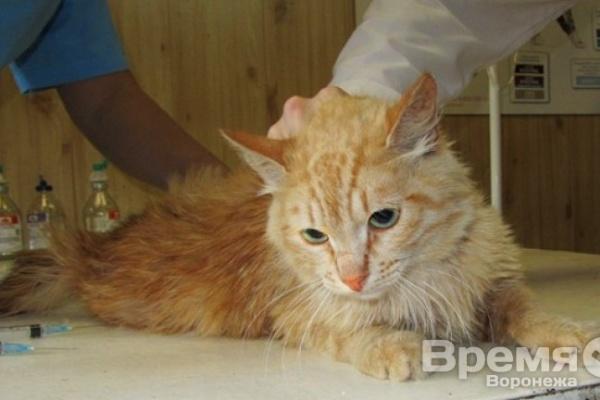 В Воронеже расстреляли кота – три пули до сих пор остаются в его теле
