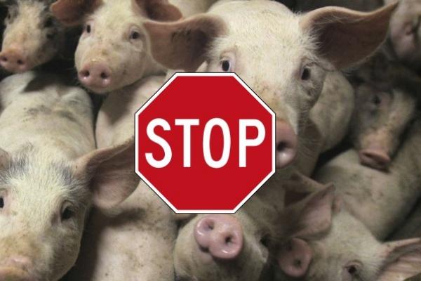 АЧС испытывает воронежских производителей свинины на прочность
