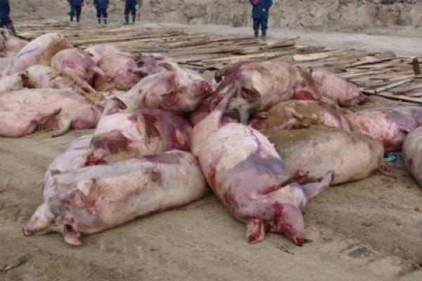 В Липецой области продолжается незапланированный забой свиней