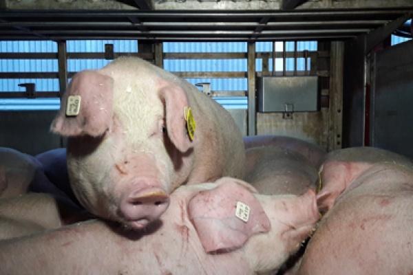 Под Воронежем уничтожат 42 тысячи  свиней