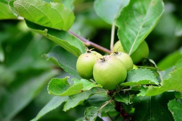 Дело о воронежских яблоневых садах ушло в прокуратуру