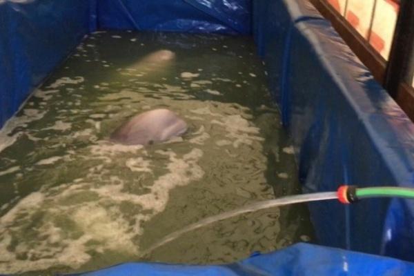 В Воронеже погибают киты белухи