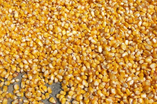 Воронежские аграрии удвоили импорт семян из Европы и Турции