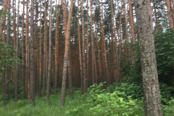 В Воронеже власти подтвердили вырубку здоровых деревьев в Северному лесу