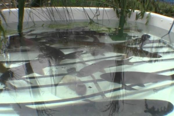 Тамбовская область запустит производство деликатесной рыбы
