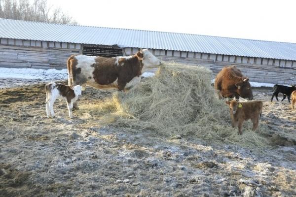 Воронежские скотоводы не исполняют требования закона