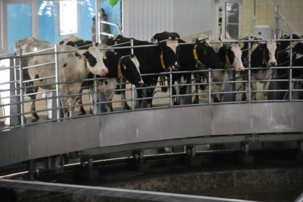 Под Воронежем не построят молочный комплекс из-за необязательности властей
