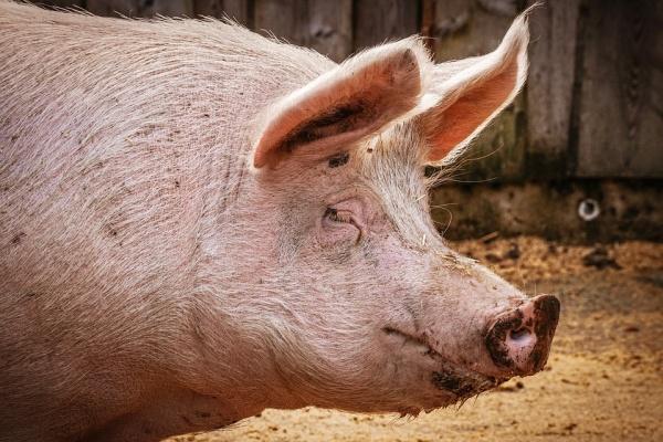 «Соцстрой» займется сетями водоотведения свинокомплекса «Агроэко» в Воронежской области за 358,2 млн рублей