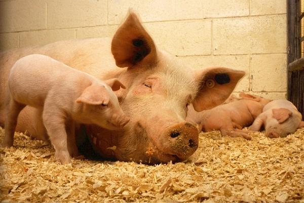 В Воронежской области откроют русско-ирландский центр по выращиванию свиней