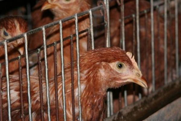 Проверка воронежских птицефабрик нанесет ущерб региональной экономике