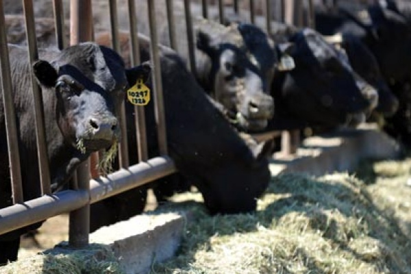 Воронежскому скотоводству достанутся 489 миллионов федеральных рублей