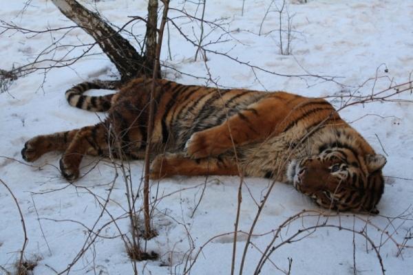 Воронежский зоопарк может пополниться двумя амурскими тиграми