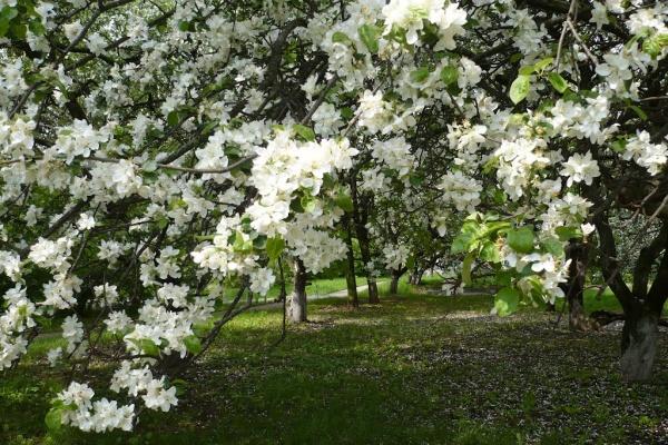 Глава Воронежа не видит препятствий к вырубке яблоневого сада