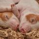 Под Воронежем проведут опрос о воздействии на экологию свинокомплекса Агроэко